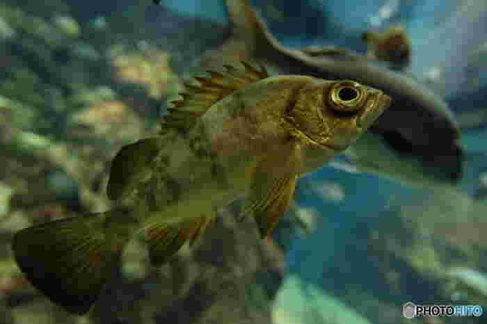 大きい眼が特徴のメバルは、春が旬の魚です。 日本近海で捕れ、比較的手に入りやすい魚でもあります。スーパーで見かけたことがある、という方も多いのでは? 防波堤で海釣りをすると釣れる魚でもあります。