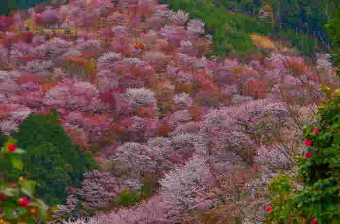 約3万本の桜がある吉野山。約200種類あるため、様々な色味の花がそれぞれ咲き誇る様子は圧巻。ふもとから頂上までを「下千本」「中千本」「上千本」「奥千本」と分けて呼ばれており、下から順に見頃を迎えていくため、長期間花見を楽しめるのも特徴です。