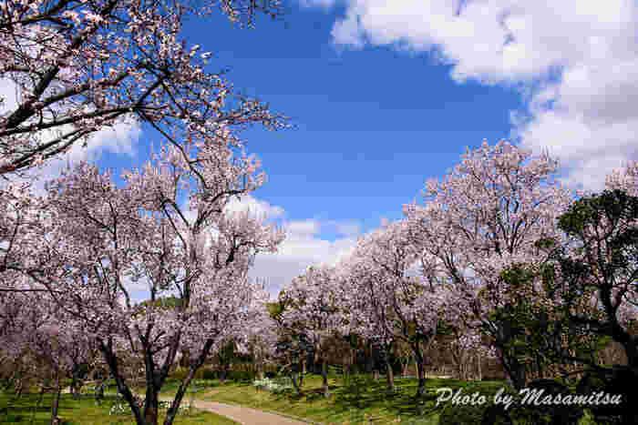よく整備された公園内の散策路には桜並木があります。抜けるような青空の下で、満開に花を咲かせた桜並木を歩く気持ち良さは格別です。