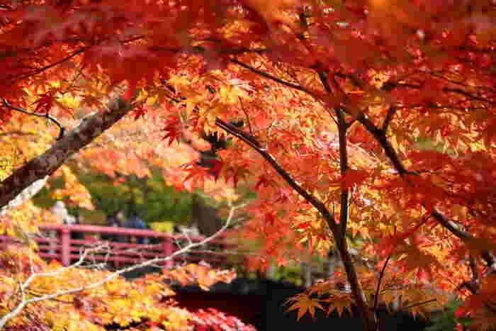 続いては、黒石市にある中野もみじ山です。林の中には、見事な渓流や滝、「津軽三不動尊」と呼ばれる中野神社や不動舘城跡もあり、また中野神社には樹齢約200年のモミジの木とモミの木、樹齢600年の大スギの木もあります。どこに行ってもカメラが手放せません。