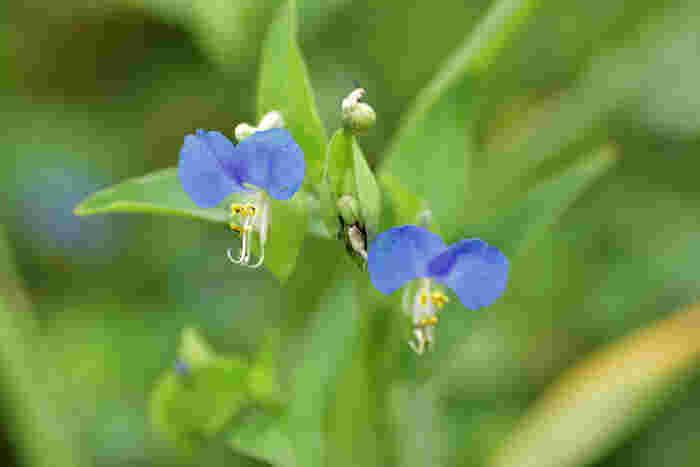 鮮やかな青色が印象的なツユクサ。古くは万葉集にも登場する草花で、その青色は染料としても使われています。花言葉は「なつかしい関係」「変わらぬ思い」「尊敬」。朝咲いて夕方にはしぼんでしまうはかない花なので、贈る際はつぼみがたくさん付いているものを選ぶとよいでしょう。