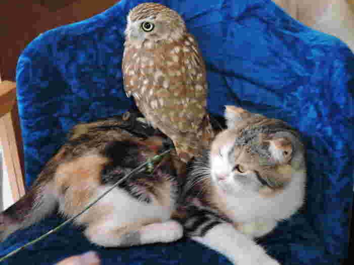通常、警戒心が強いふくろうは猫を威嚇したり、猫もふくろうを追い掛け回したりするはずなのですが・・・。よっぽど気が合うのか、いつも一緒に遊んでいるそうなんです。