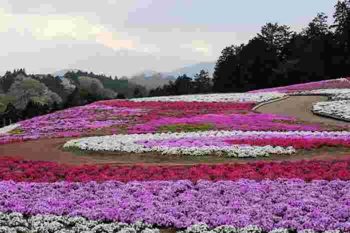 約2.9ヘクタールの敷地に、約26万株の芝桜が植栽されているみさと芝桜公園では、毎年4月中旬から5月上旬にかけて公園内の芝桜が開花し、見ごろを迎えます。