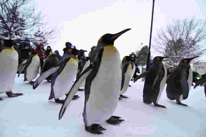 雪原の上を何羽ものペンギンたちが行進するペンギンパレードは、冬の旭山動物園を彩る風物詩です。