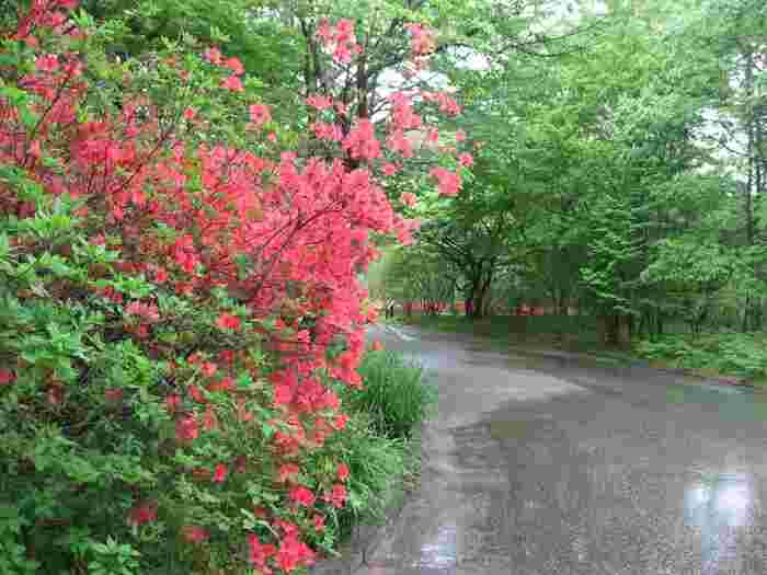 """ゆったりとした散策、季節の花々と豊かな緑を存分に楽しむのなら、ソメイヨシノの花弁がすっかりと散り落ちた4月中旬から7月中旬の""""晩春から夏の頃""""がお勧めです。【『ヤマツツジ』と新緑が美しい晩春の苑内(4月下旬撮影)】"""