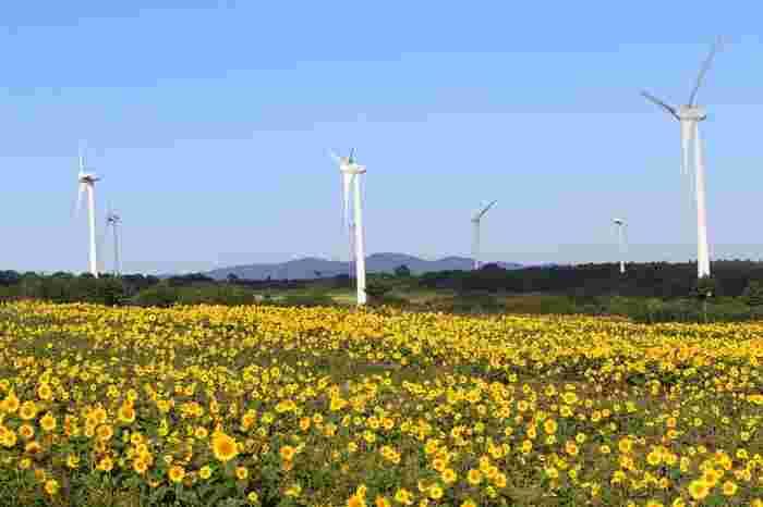 標高約1000mの風の高原は、磐梯山と猪苗代湖を一望できる絶景スポット。高さ100mの風車が33基あり、ここならではの景色を作っています。夏のひまわりはもちろん、春の菜の花、秋のコスモスなど季節の花を楽しむことができます。