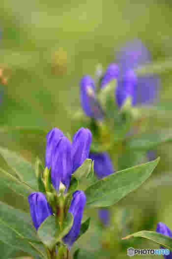 """群生せず、1本1本、すっと直立して咲く姿に、""""正義*誠実""""の花言葉がオーバーラップします。"""