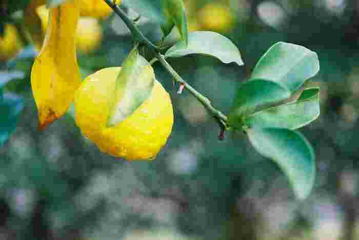柚子は果皮(ビタミンC)から果肉(ビタミンC・クエン酸・リンゴ酸)、種(ペクチン)まで栄養価に優れ、疲労回復や整腸作用、血行改善、美肌効果など健康や美容に様々な効能が期待できます。