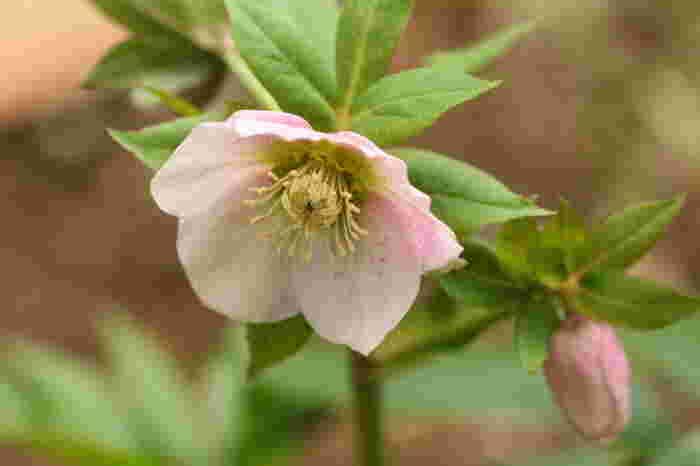 種を取らない場合には、花が咲き終わったら早めに「花がら摘み」をしましょう。花がらは株元から切り取りますが、種を採取する場合には、種が成熟するのを待ってから切り取ります。以下のリンク先のページでは、このほかにも水やりや肥料の与え方など、クリスマスローズの栽培方法が詳しく紹介されています。ぜひ参考にしてみてくださいね。