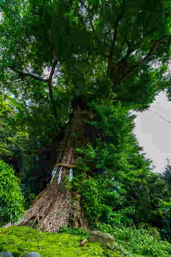 境内にある樹齢900年以上ともいわれる大銀杏の古木は、鎌倉市の天然記念物に指定されています。葉が黄色に色づく頃には見事な眺めも楽しめます。