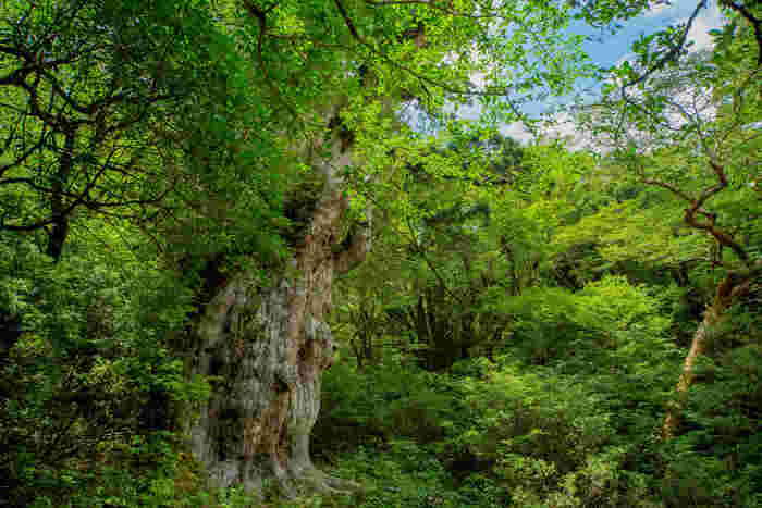 "©2018 PEACE NIPPON PROJECT LLC  屋久島の、悠久の時を生きる屋久杉たちの森もまた、ずっと守り続けたい日本の大切な遺産。  そこには、縄文時代から生き続けている推定樹齢4000年の「縄文杉」や、推定樹齢3000年の「紀元杉」など、圧倒的な生命力に満ちた絶景が待ち受けています。  絶滅の恐れのある動植物など、生態系の保存地区としても大切な役割を担っている屋久島。""世界遺産""という言葉の魅力に捉われがちですが、島の本質的な素晴らしさを体感したいですね。"