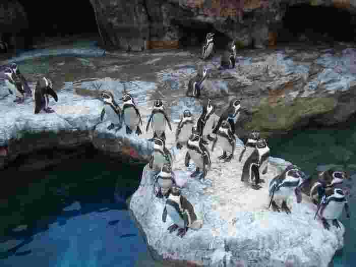 群れで動くペンギンたちは、まるでアニメーションのピングーのような可愛さですよ!写真も取り放題なので、シャッターチャンスを狙いましょう!