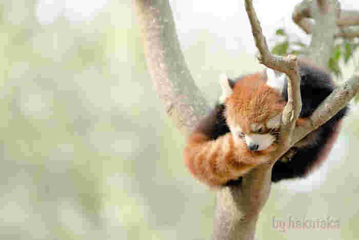 ぬいぐるみのように愛くるしいレッサーパンダもいますよ。木の上でひとやすみ。