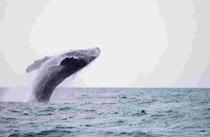ホエールウォッチングは、12月下旬から4月上旬限定で楽しめる、沖縄の冬のおすすめアクティビティです。シベリア海域に生息するザトウクジラが、この時期、出産と子育てのために沖縄のあたたかい海を求めてやってくるのです。大迫力の出会いを、ぜひ!