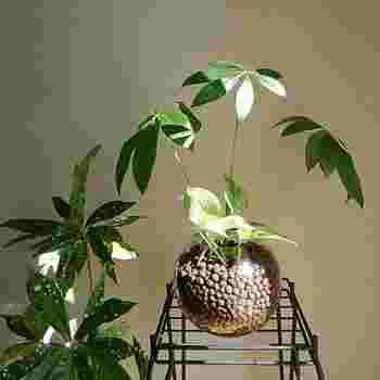 熱帯性の樹木パキラは、耐陰性や耐寒性に優れ育てやすい観葉植物。インテリア性も高く人気のグリーンです。