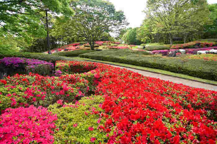 錦織公園に植樹されているツツジの数は18600株に及びます。ツツジが見ごろを迎える時期になると、公園内は、緑、赤、ピンク、白のパッチワークを敷き詰めたような風景へと変貌します。