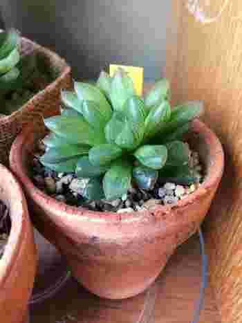 ハオルシア  透明感があり瑞々しいハオルシアは、室内でも育てやすい品種です。