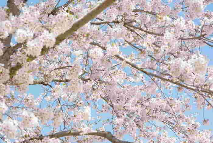 満開に咲き誇る桜の木の下に立って、空を見上げてみましょう。青い空と、淡ピンク色をした桜の花びらのコントラストの美しさは格別です。