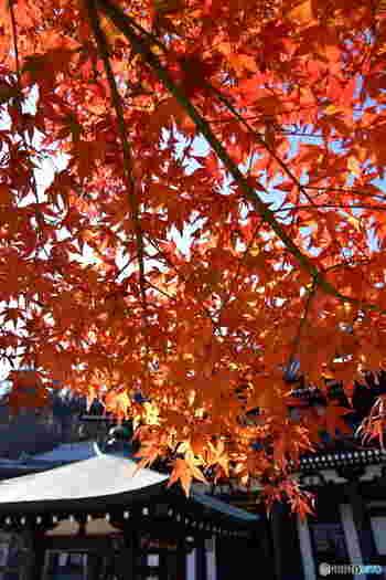 秋はもうそこまで来ています。鎌倉の紅葉が、こんなに美しいことに驚いた方もいらっしゃいますでしょうか。この秋の紅葉狩りの参考になれば幸いです。