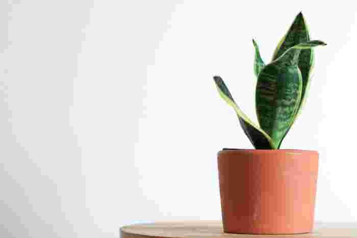 多肉植物の仲間であるサンスベリアは、葉に水分を溜めているので多少の水枯れには耐えることができ、管理のしやすい品種。旅行などで家を空ける場合も水やりを気にしなくて大丈夫です。明るい場所を好むので、日が差し込む部屋のカーテン越しの管理が◎