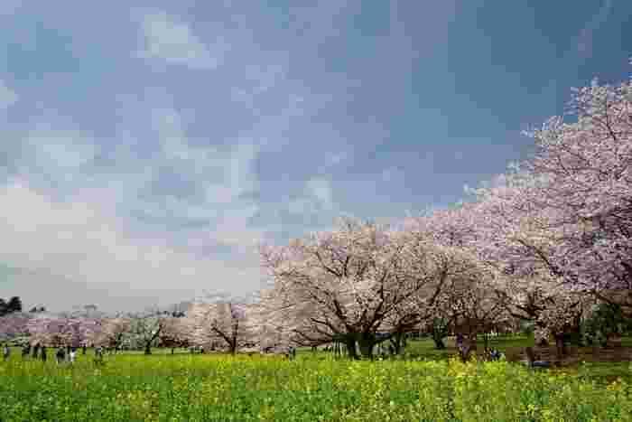 ソメイヨシノ・ヤマザクラ・シダレザクラなど、園内には約1500本の桜の木があります。 芝生の上でゴロゴロしたり、思い思いにのんびりお花見を楽しめそうです。