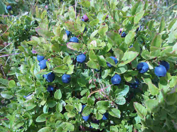 北欧は夏になると、野生のブルーベリーやラズベリーがたくさん採れます。自分でブルーベリーを摘んできて、おうちの冷凍庫で保管して長い期間楽しむ人もたくさん。