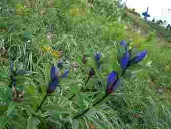 そんな歴史ある美ヶ原高原は、春から秋にかけて200種類以上もの高山植物が咲き誇り、日本一美しい高原とも言われています。