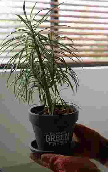 プラスチック容器のままお部屋に飾っている場合には、陶器の鉢に植え替えたり、籐の鉢カバーで目隠ししてあげましょう。以下のリンク先のページでは、観葉植物の植え替えが方法が紹介されています。ぜひ参考にしてみてくださいね。