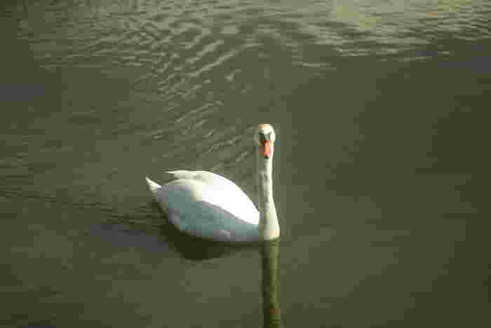下町都電ミニ資料館の裏手はスワンの池があり、水面を優雅に滑る白鳥を眺めることができます。日頃の疲れも、癒やされますね。