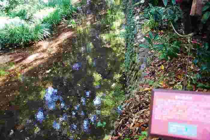 名も無き湧き水から野川へと生まれ変わる「排出口」という場所も見学できます。人気の見学スポットです。