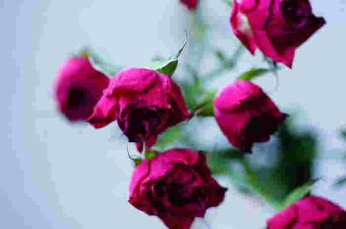お花には、ドライフラワーに向いているお花と不向きなものがあります。基本的には、もともと水分が少なく、咲いた状態でも花弁が完全に開かないバラや、小さな花弁が密集しているアジサイなどが、ドライフラワーにしても形が崩れにくくキレイに仕上がります。