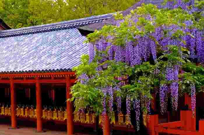 国宝に指定されている春日大社御本殿では静謐で神秘的な雰囲気が漂っています。御本殿に折り重なるように咲く藤の花が、社が持つ重厚感ある佇まいに華を添えています。  本殿の背後に第四殿、第三殿、第二殿、第一殿が一直線上に並び、回廊内は厳かな雰囲気が漂っています。