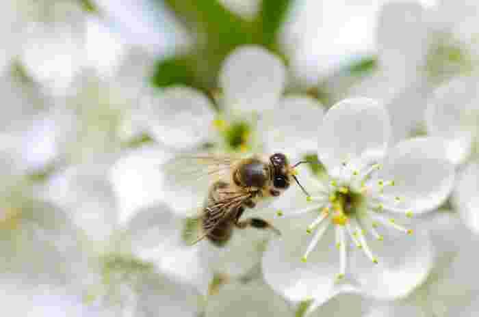 """ミツバチが集めた花の蜜を指します。巣へ運ぶ過程で一度体内に蜜を取り込むのですが、その際もともと花の蜜の成分にある""""ショ糖""""が、ミツバチの唾液酵素などの作用により""""ブドウ糖""""と""""果糖""""に分解され、移動過程で水分が蒸発していくことで甘みを作っています。そのためねっとりとした食感が特徴です。"""