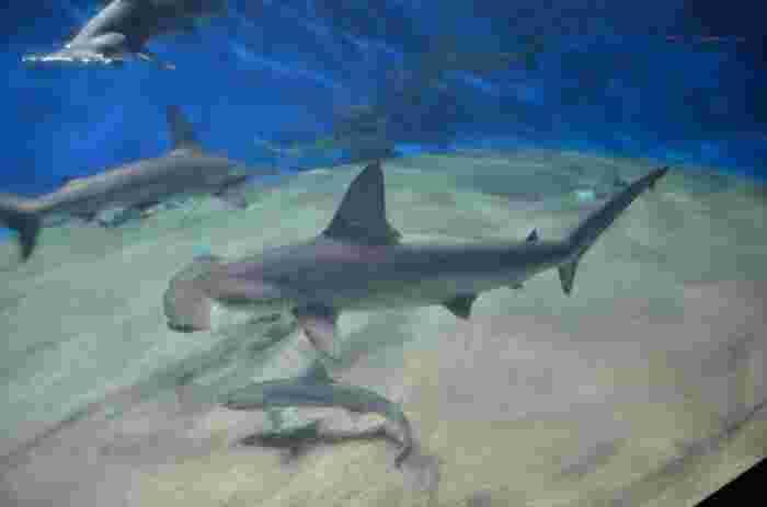 ハンマーヘッドシャークなど、ちょっと変わったフォルムをしたサメもいるので、図鑑で見たことがあるサメたちに大興奮です!1日1回、早い時間帯に開催されるショーなので見逃さないようにしましょう。