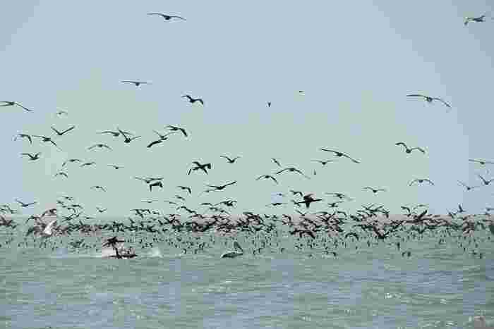 豊かな湿原が広がるドナウデルタは、野生動物の宝庫でもあり、ペリカンが群れをなして羽ばたく姿などを見かけることができます。