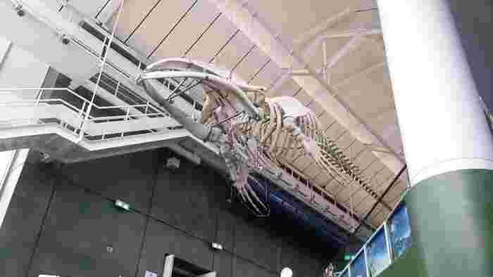大きな水草の水槽やかわいいメダカ。そして、セミクジラやマッコウクジラなど、頭上に吊り上げられた骨格標本が展示されている出会いのデッキ。企画展示室にて、期間限定の展示が開催されていることもあります。毒を持つ生物やサメの赤ちゃんなど、これまでもユニークな企画が開催されてきました。