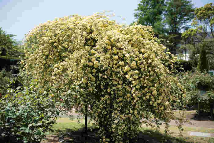 こちらは植物園のモッコウバラ。大きな木のような仕立て方が素敵です。ぜひ自宅でも真似したいですね!