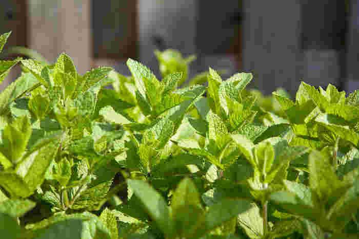 ハーブの中ではよく知られているのがミントです。別名「ハッカ」とも呼ばれます。多年草の仲間ですから、一度植えると数年は楽しめます。ハーブの中には多年草が多いのも特徴です。