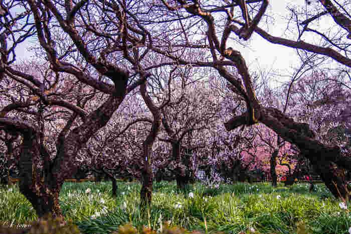 まずご紹介するのは、東京の代表的な庭園である「新宿御苑」です。新宿御苑前駅から徒歩すぐのところにあります。四季を通して様々な植物を楽しむことができますが、例年2月下旬~3月上旬には梅の花が見頃を迎えます*