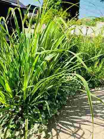 熱帯植物のレモングラスは、暑さに強く寒さに弱いのが特徴。寒くなったら、地植えの場合は葉っぱを刈り込み、鉢植えは室内に取り込んで冬越ししましょう。また、葉が茂り過ぎると蒸れるので生育期でも適度に剪定しておく必要があります。ハーブとして使う時は必要な量だけ根元でカットしましょう。