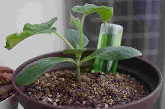 苗を植え付ける土にあらかじめ混ぜておく肥料を「元肥」と呼ぶのに対し、苗が育ち始めてから与える肥料を「追肥」といいます。実がうまく育たない場合、この追肥の過不足が原因であることも少なくありません。栄養が少なすぎると株に元気がなくなって実付きが悪くなりますが、多すぎると今度は肥料焼けを起こし、実が曲がるなどの症状が出ることがあります。葉やつるばかりが大きく育っていたり、雌花がつきにくかったりする時は肥料の窒素過多を疑い、水を大量に与えて肥料濃度を下げるなどの対処を検討してみて下さい。