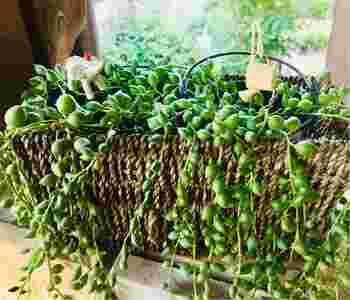 豆のような丸い形の葉がいくつも連なるグリーンネックレス。こちらは冬に休眠期に入る種類なのですが、2℃~3℃くらいまで耐えられる寒さに強い特徴があります。乾燥気味にして管理しましょう。
