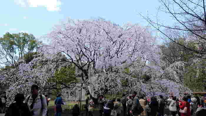 六義園は、江戸時代中期に徳川幕府5代将軍綱吉の側近、柳沢吉保が造園した大名庭園で、国の特別名勝に指定されている都立庭園です。庭園正門近くには、大きな枝垂れ桜が植樹されています。