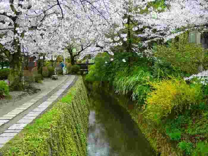 哲学者「西田幾多郎」が思索にふけりながら散策したという「哲学の道」。 春には両岸に植えられた桜の花々が白川疎水上を覆い、「桜のトンネル」のようになります。