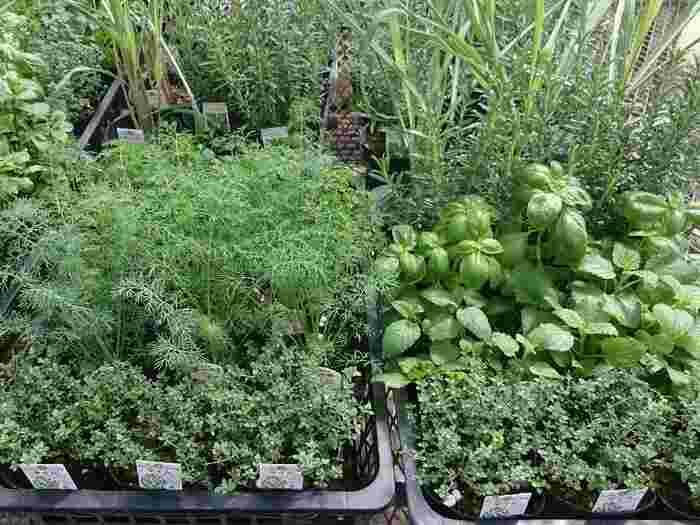 ハーブ栽培を始めるなら、苗から育てる方が簡単でおすすめ。種から育てるよりも失敗が少なく、生長させる時間を短縮できます。苗を選ぶ時は茎がひょろっとしていないか、土に苔が生えていないかなどをチェック。葉色のいいしっかりした株を選んでくださいね。