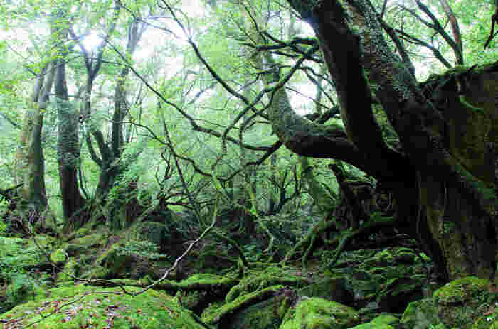 世界遺産にも登録され、人間の手が一切入っていない本当の森、屋久島。幻想的な物語の世界に入り込める、貴重な森です。