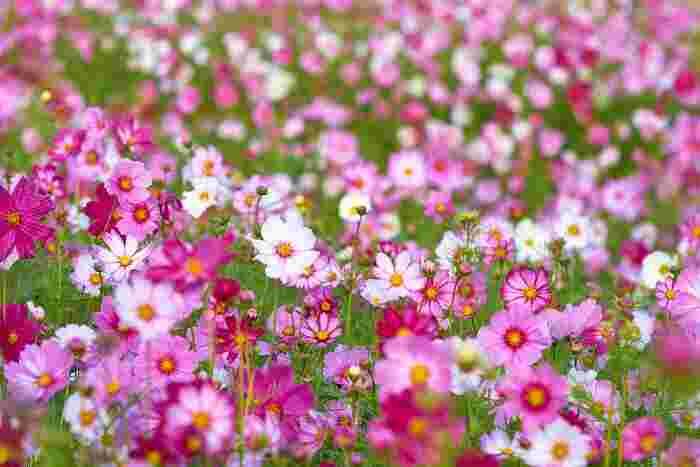 秋の花と言えば、コスモスを思い浮かべる方は多いのではないでしょうか。華やかな色合いと可憐な雰囲気で、秋を運ぶ花の代名詞になっています。お部屋のなかにも、そんな秋の花をお迎えしてみましょう。