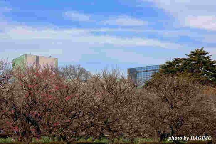 新宿御苑は、大都会に立地しながら緑豊かな庭園が広がる都会のオアシスのような存在です。58.3ヘクタールを誇る広大な敷地内には、紅梅、白梅を中心とした梅が植樹されており、毎年2月中旬から3月中旬頃にかけて見ごろを迎えます。