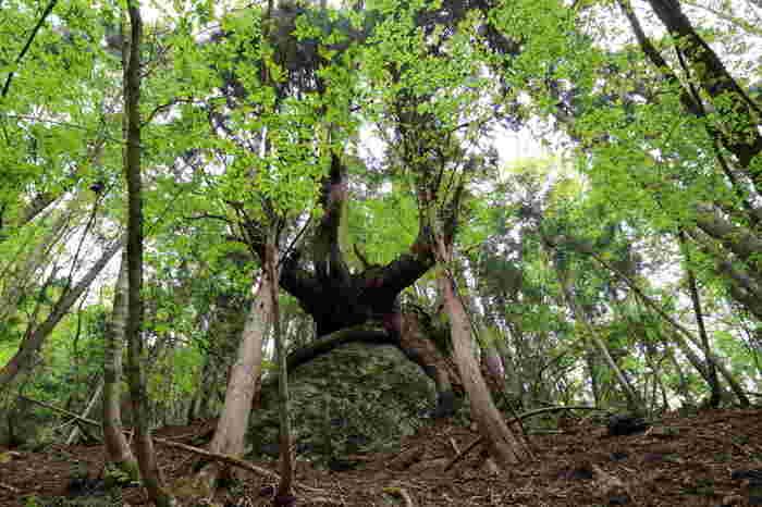 由良川の源流付近には、手つかずの原生林、芦生の森が広がっています。この豊かな自然が広がる原生林では、清流、由良川の水のめぐみを象徴するかのように多くの動植物や昆虫たちが生息しています。