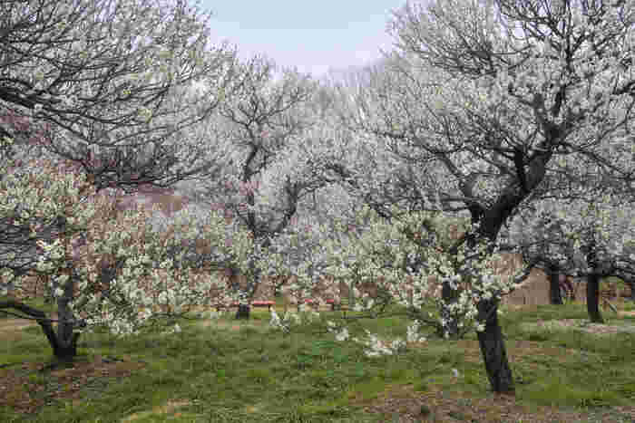 府中市郷土の森博物館は、たくさんの建築物と森が一体化した野外博物館で敷地内に梅園があります。梅園では紅梅、白梅を中心に約1100本の梅が植樹されており、梅の見ごろに合わせて「梅まつり」が開催されます。